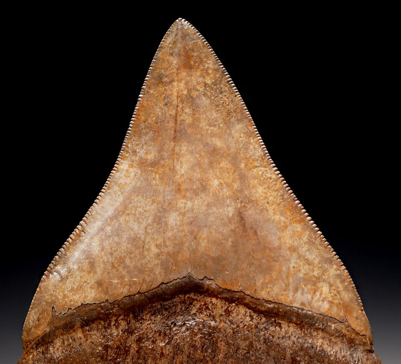 SH6-317 - COLLECTOR GRADE 3.85 INCH IVORY AND COPPER MEGALODON SHARK TOOTH FROM THE LOWER JAW