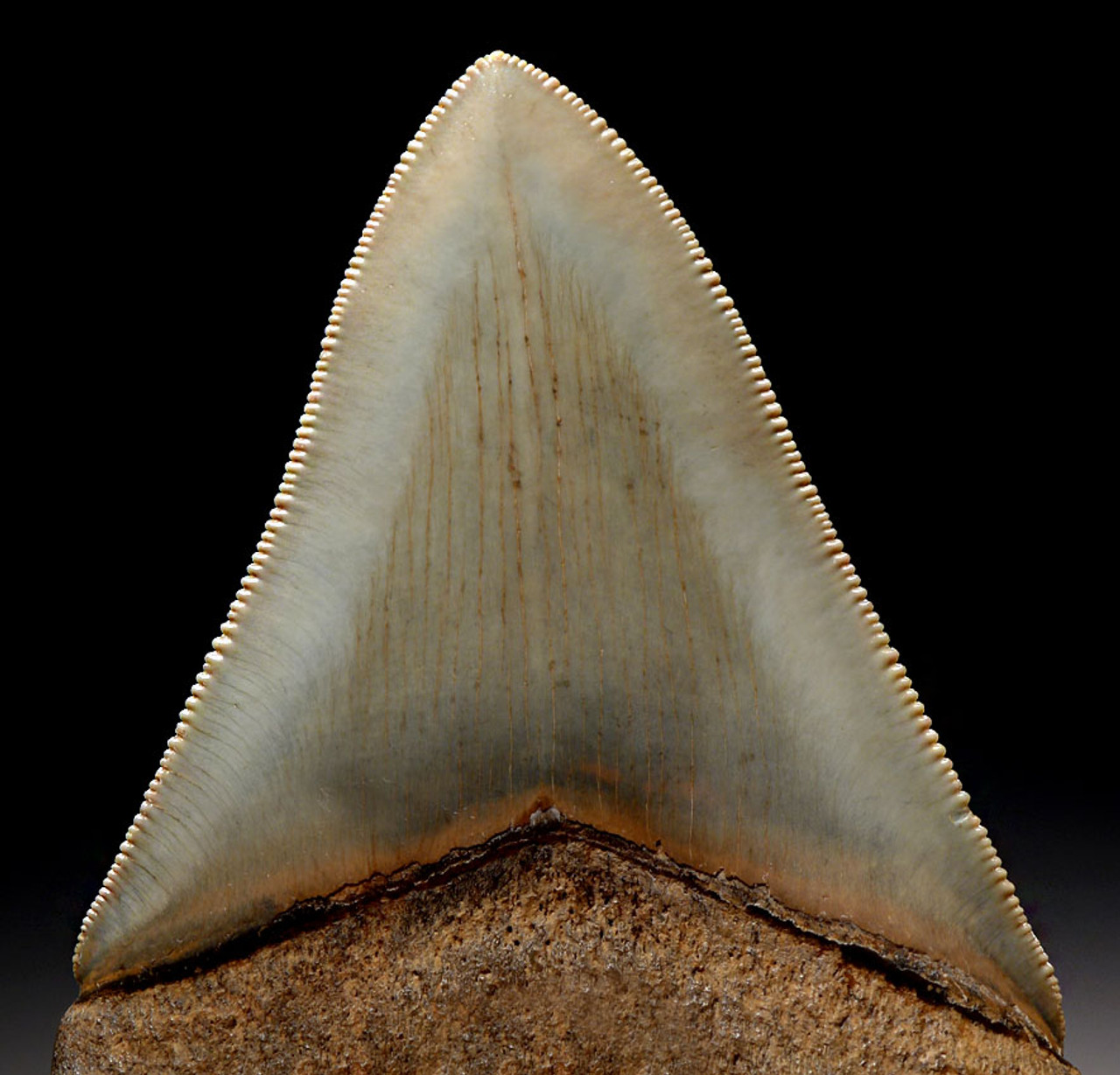 SH6-318 - FINEST GRADE 3.75 INCH MINT GREEN MEGALODON SHARK TOOTH