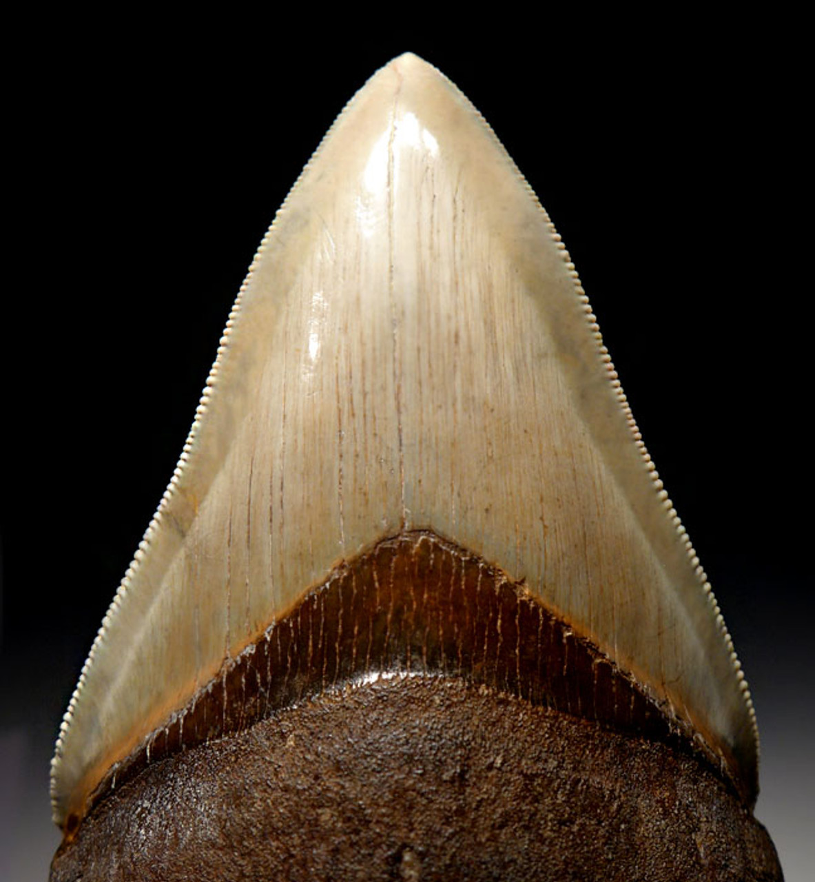 SH6-310 - FINEST GRADE 3.65 INCH MINT GREEN MEGALODON SHARK TOOTH