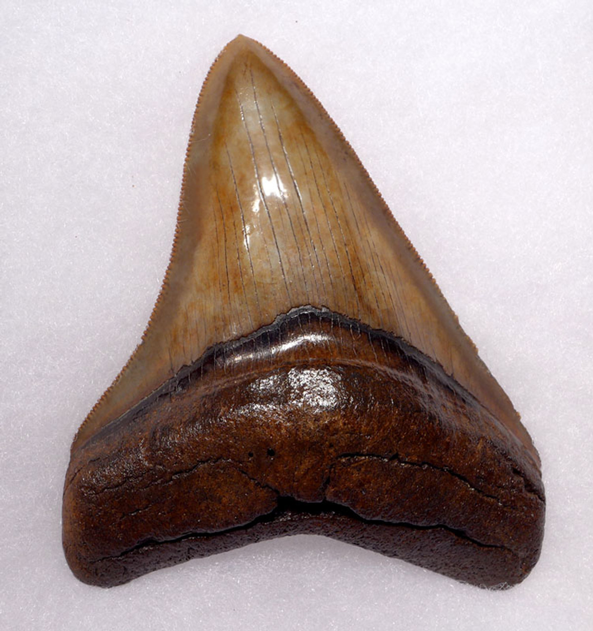 SH6-314 - FINEST COLLECTOR GRADE RED GREEN SPOTTED 3.75 INCH MEGALODON SHARK TOOTH