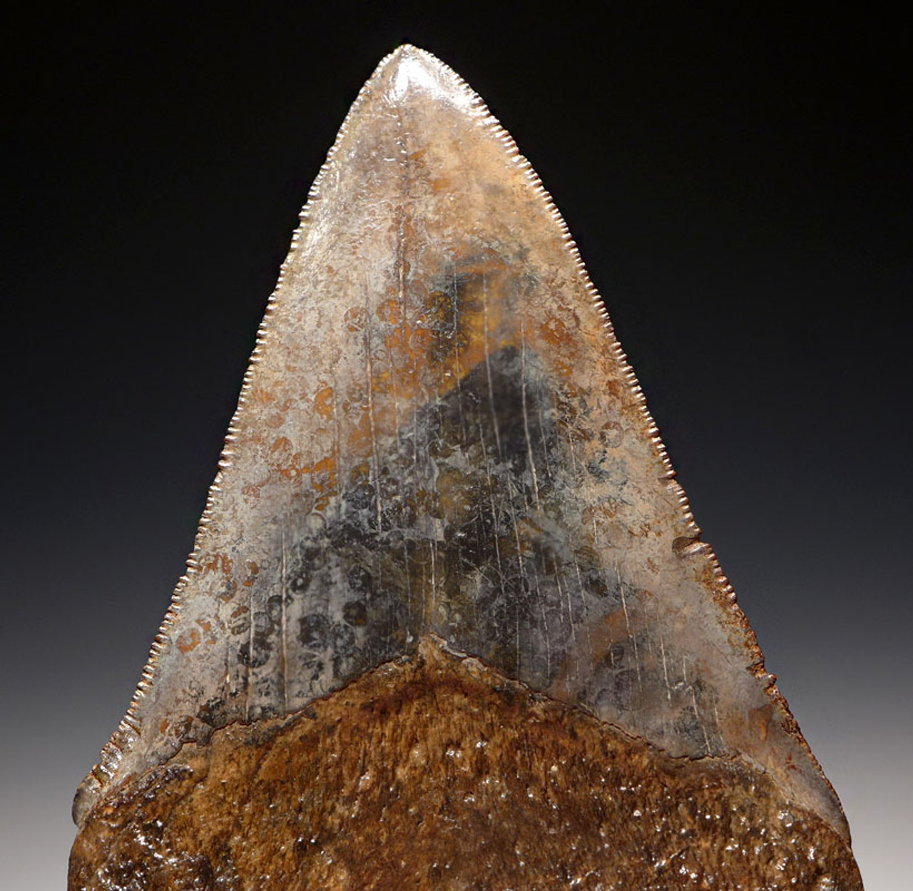SH6-313 - FINE GRADE 4 INCH GRAY AND BROWN MOTTLED MEGALODON SHARK TOOTH FROM THE LOWER JAW