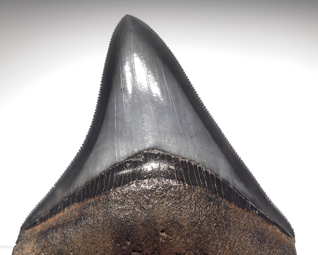 SH6-312 - FINEST GRADE 3.6 INCH CHATOYANT BLUE-GRAY MEGALODON SHARK TOOTH