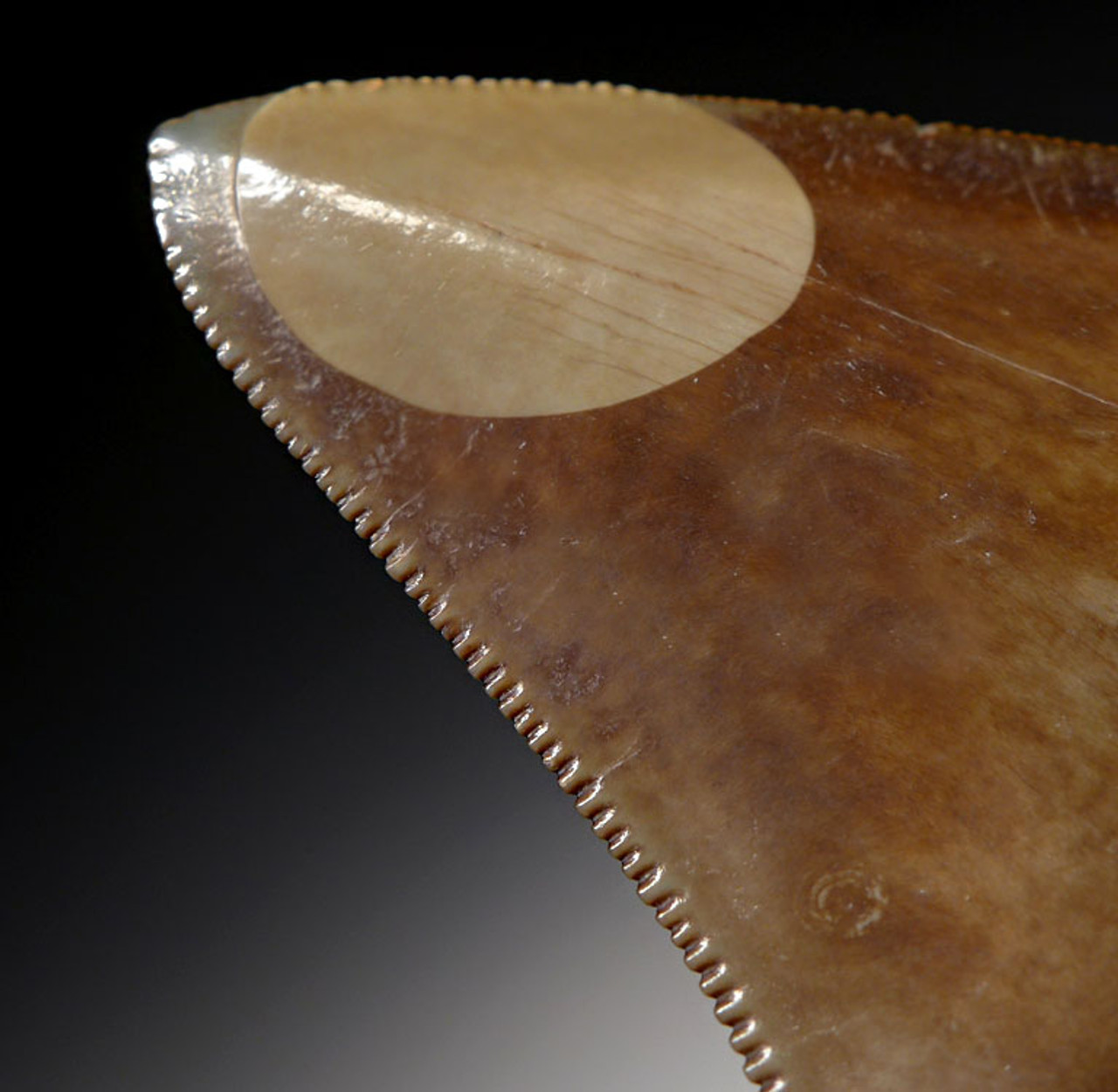 SH6-308 - FINEST QUALITY 3.75 INCH MEGALODON SHARK TOOTH WITH BIZARRE SPOTTING