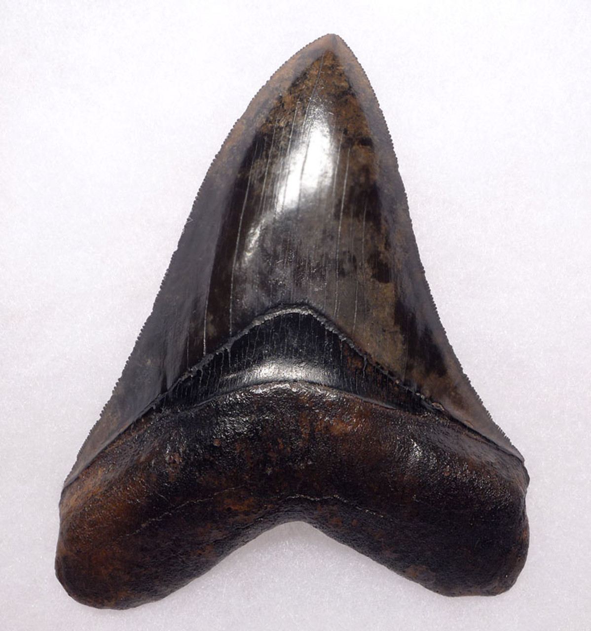 SH6-307 - FINEST COLLECTOR GRADE SUNSET THUNDERSTORM 5 INCH MEGALODON SHARK TOOTH