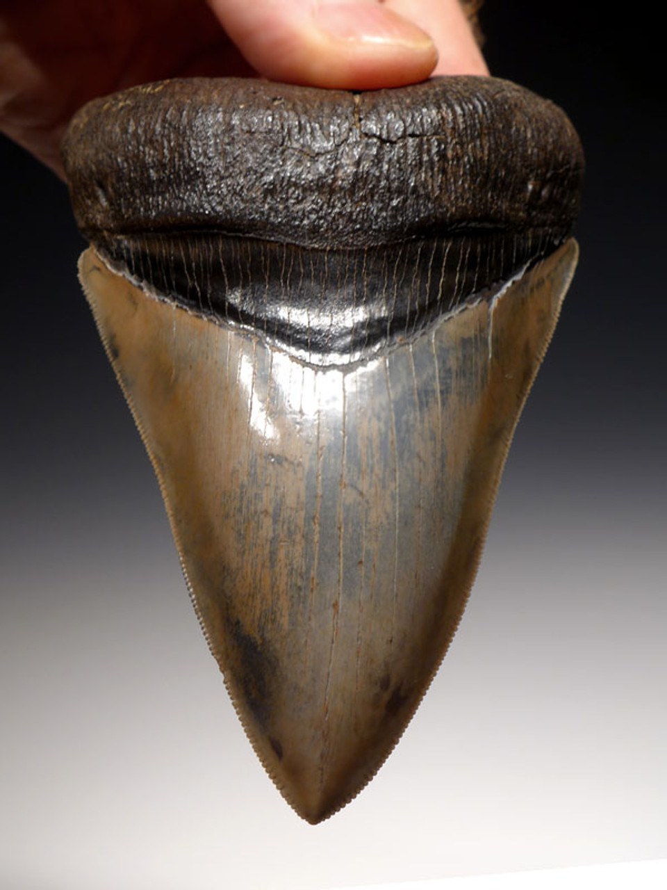 SH6-306 - COLLECTOR GRADE 4.8 INCH STABBING MEGALODON SHARK TOOTH FROM THE LOWER JAW