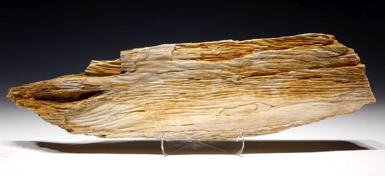 PLX010 - LARGE LIFELIKE PETRIFIED EOCENE SPLIT TREE TRUNK SECTION WITH RARE PRESERVATION FROM FRANCE