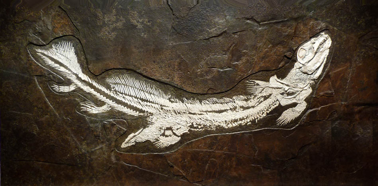 F085 - FINEST INVESTMENT MUSEUM FOSSIL GIANT 1.9 METER ORTHACANTHUS SHARK IN RARE WHITE BONE ON DARK COLORFUL ORIGINAL ROCK FROM PERMIAN PERIOD