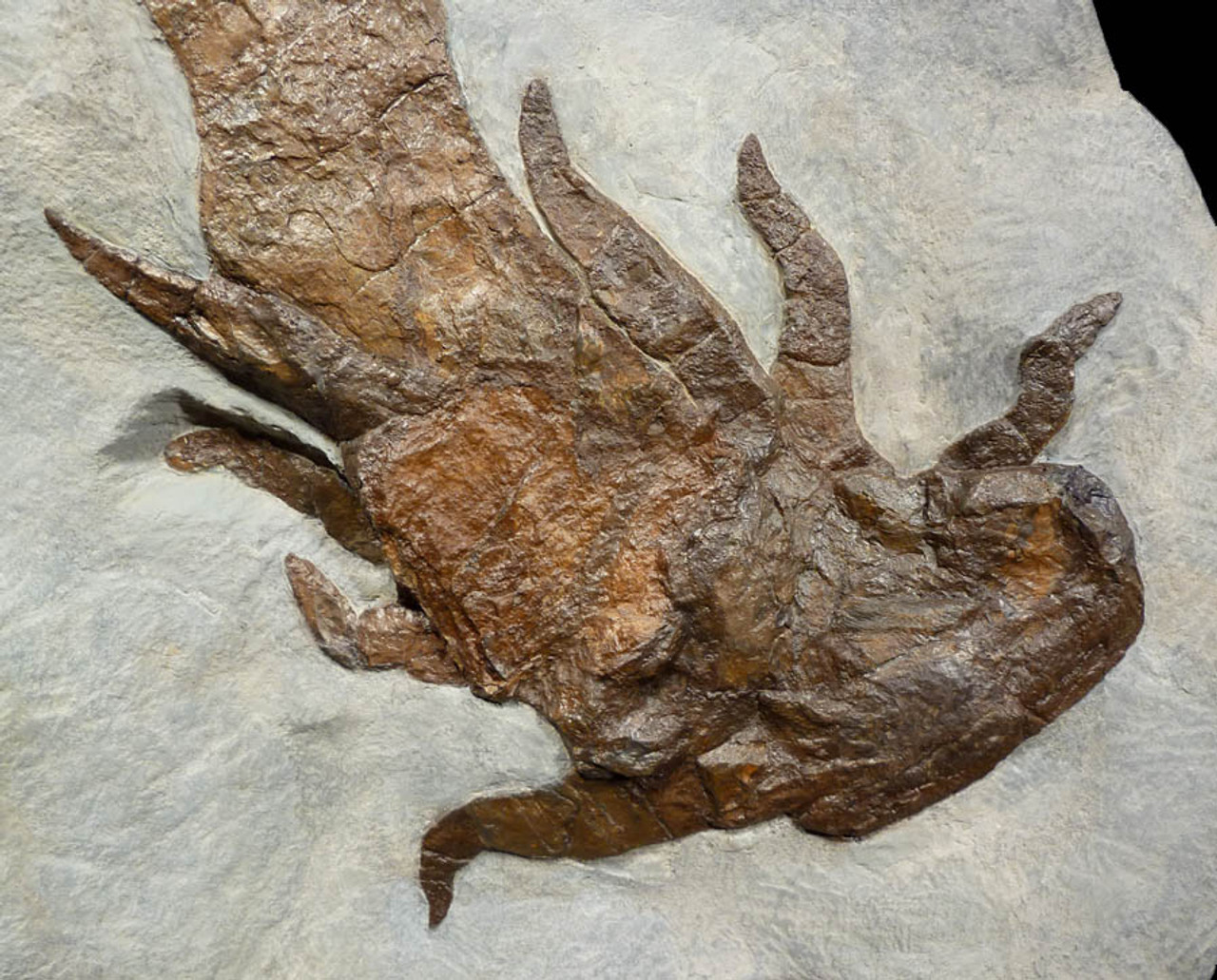 EUR001 - MONSTROUS NEARLY 3 FOOT DEVONIAN SEA SCORPION EURYPTERID WITH 3-DIMENSIONAL DETAIL FROM GERMANY -  ONE OF THREE KNOWN