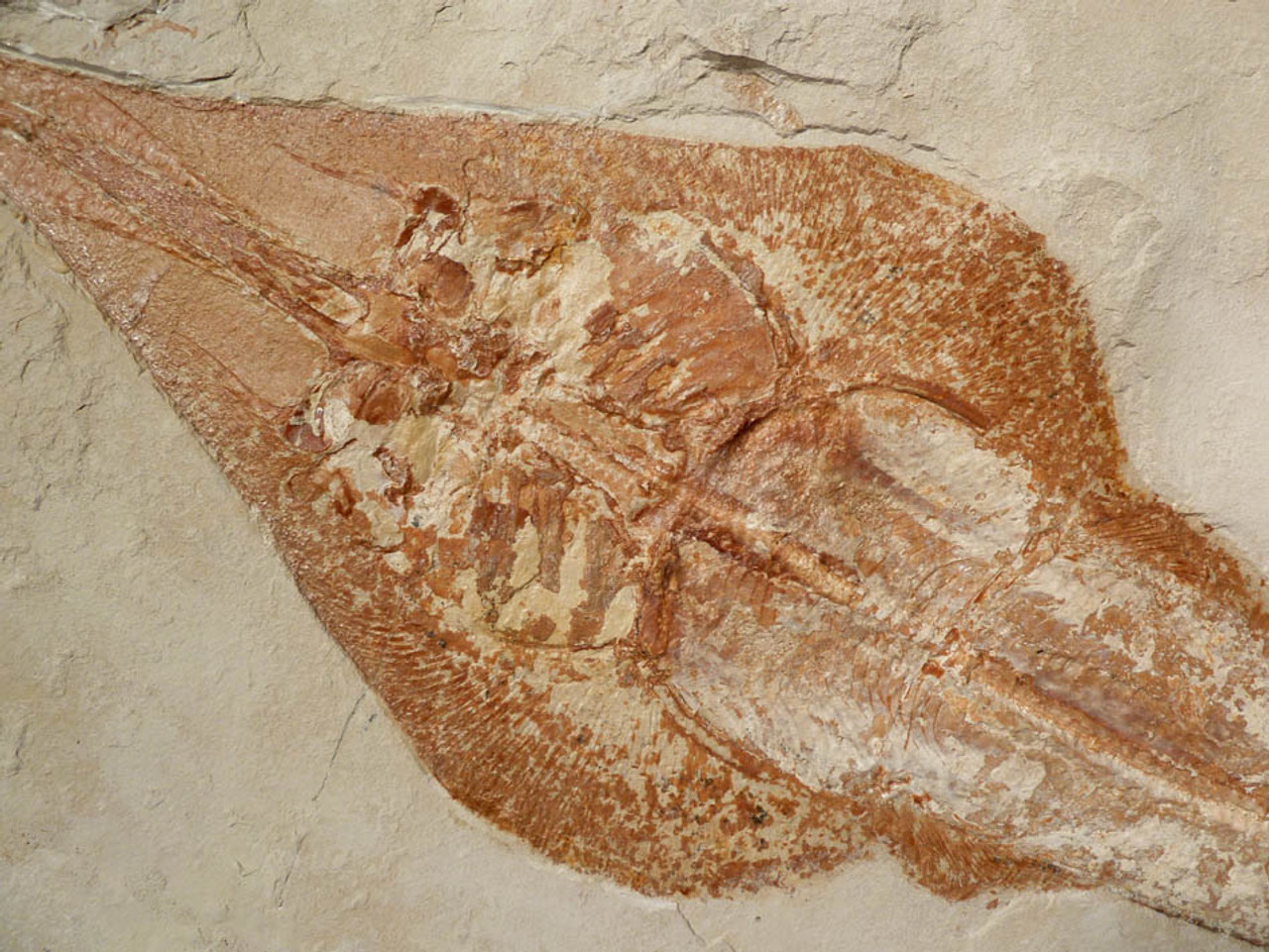SHX028 - MUSEUM GRADE 24 INCH CRETACEOUS GUITARFISH RAY FOSSIL RHINOBATOS FROM LEBANON WITH ULTRA-RARE PRESERVATION