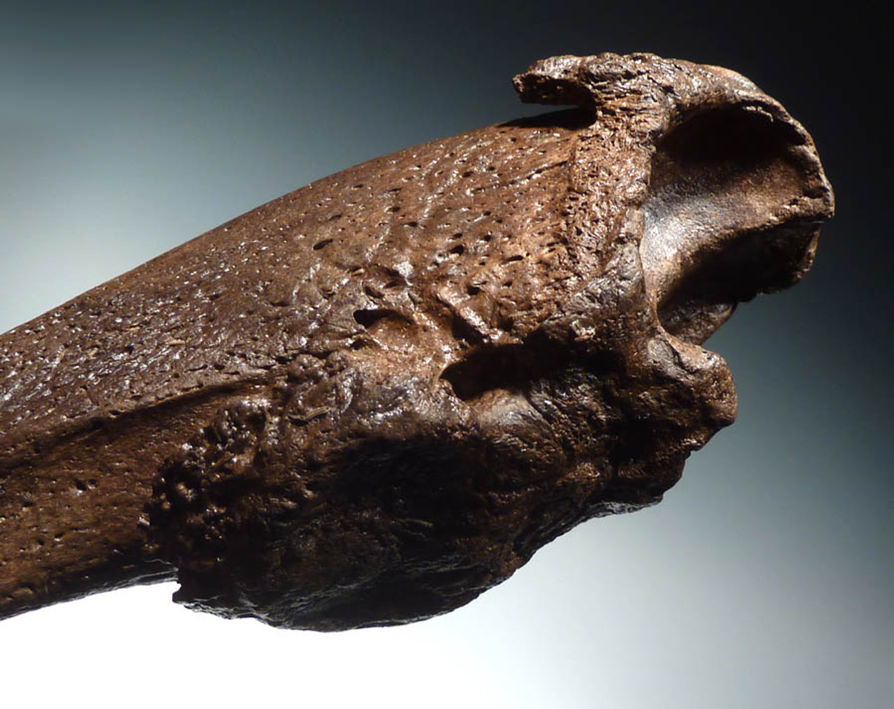 LMX074 - MUSEUM CLASS PERFECT 8 INCH FOSSIL CLAW OF A PARAMYLODON PREHISTORIC GIANT GROUND SLOTH