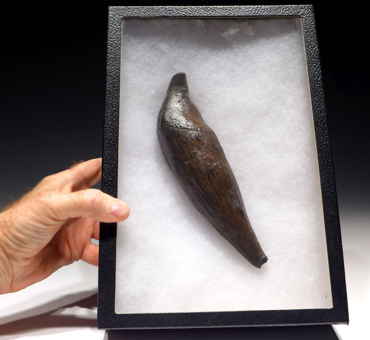 WH023 - OUR LARGEST EVER COMPLETE UNBROKEN FOSSIL SPERM WHALE TOOTH WITH MEGALODON SHARK BITES