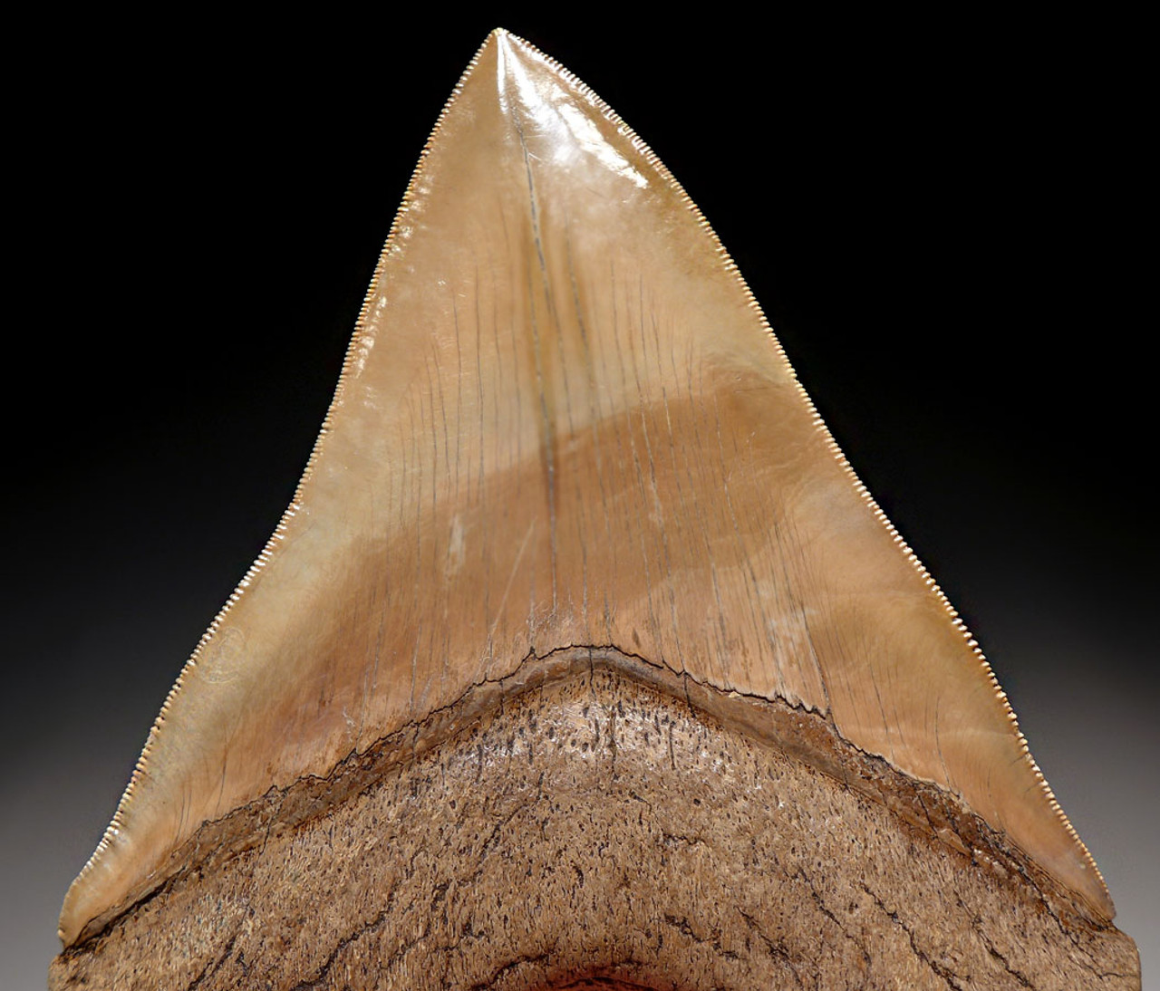 SH6-321 - FINEST GRADE 5.15 INCH MEGALODON TOOTH WITH LIGHT GOLDEN CREAM CHOICE ENAMEL