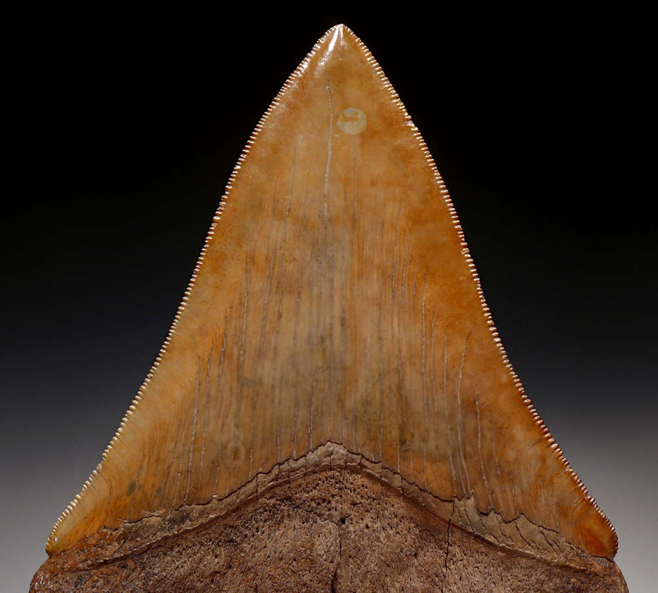 SH6-319 - 5.15 INCH MEGALODON SHARK TOOTH WITH GOLDEN AND COPPER RED ENAMEL