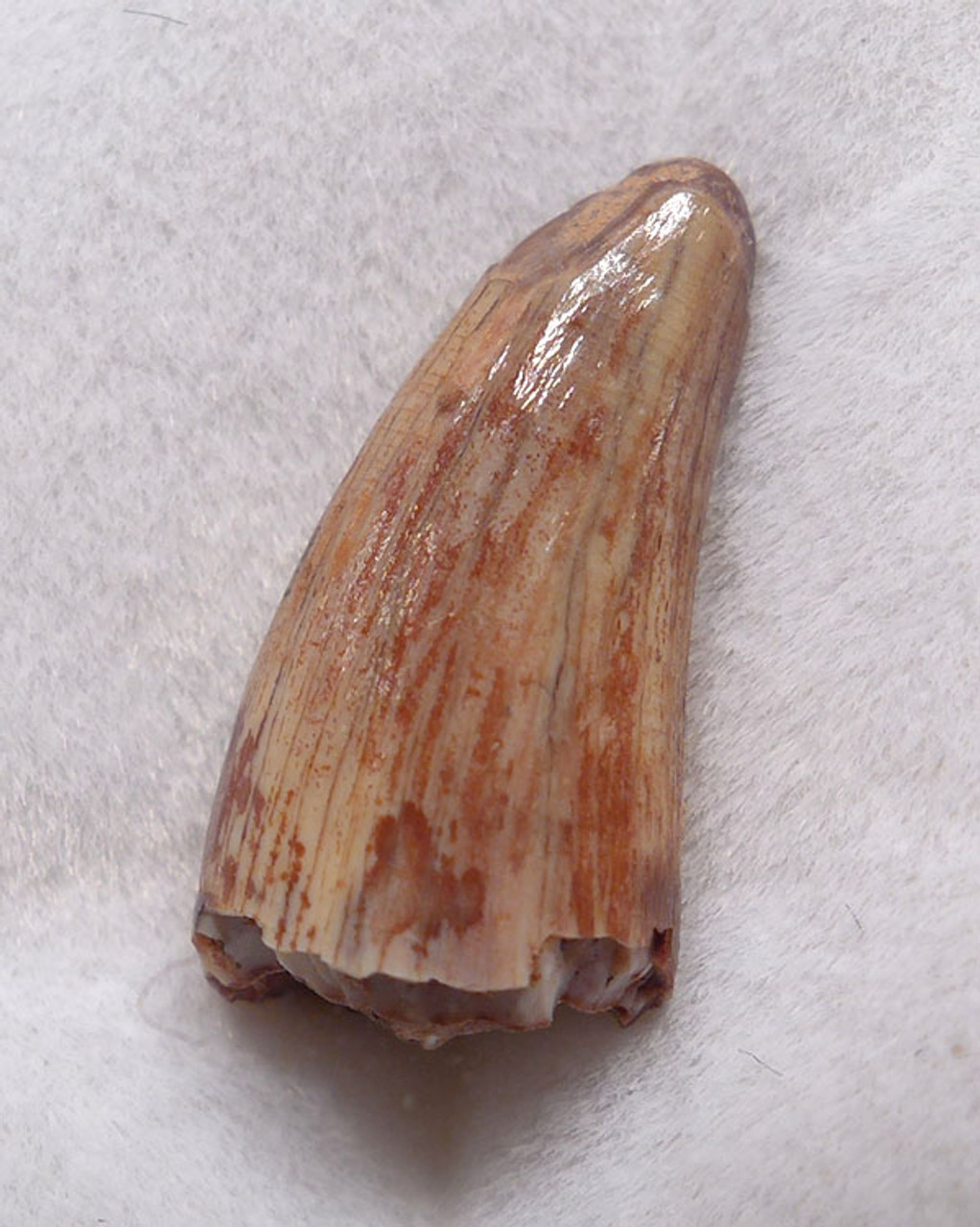 DT12-0043 - TRIASSIC-ERA RUTIODON PHYTOSAUR TOOTH IN FINEST PRESERVATION