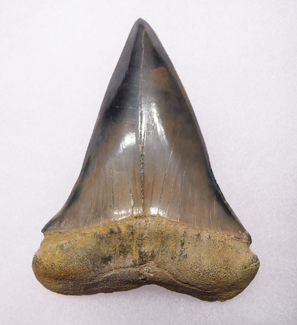 SHX039 - ONE OF OUR LARGEST EVER 3 INCH FOSSIL ISURUS HASTALIS ( EXTINCT WHITE SHARK ) TOOTH FROM RARE SITE IN BELGIUM