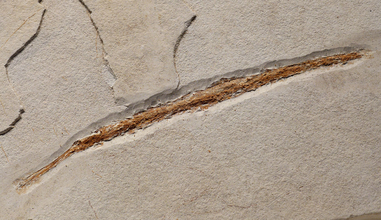F126 - PREHISTORIC PIPEFISH SYNGNATHUS FOSSIL FROM THE PLIOCENE