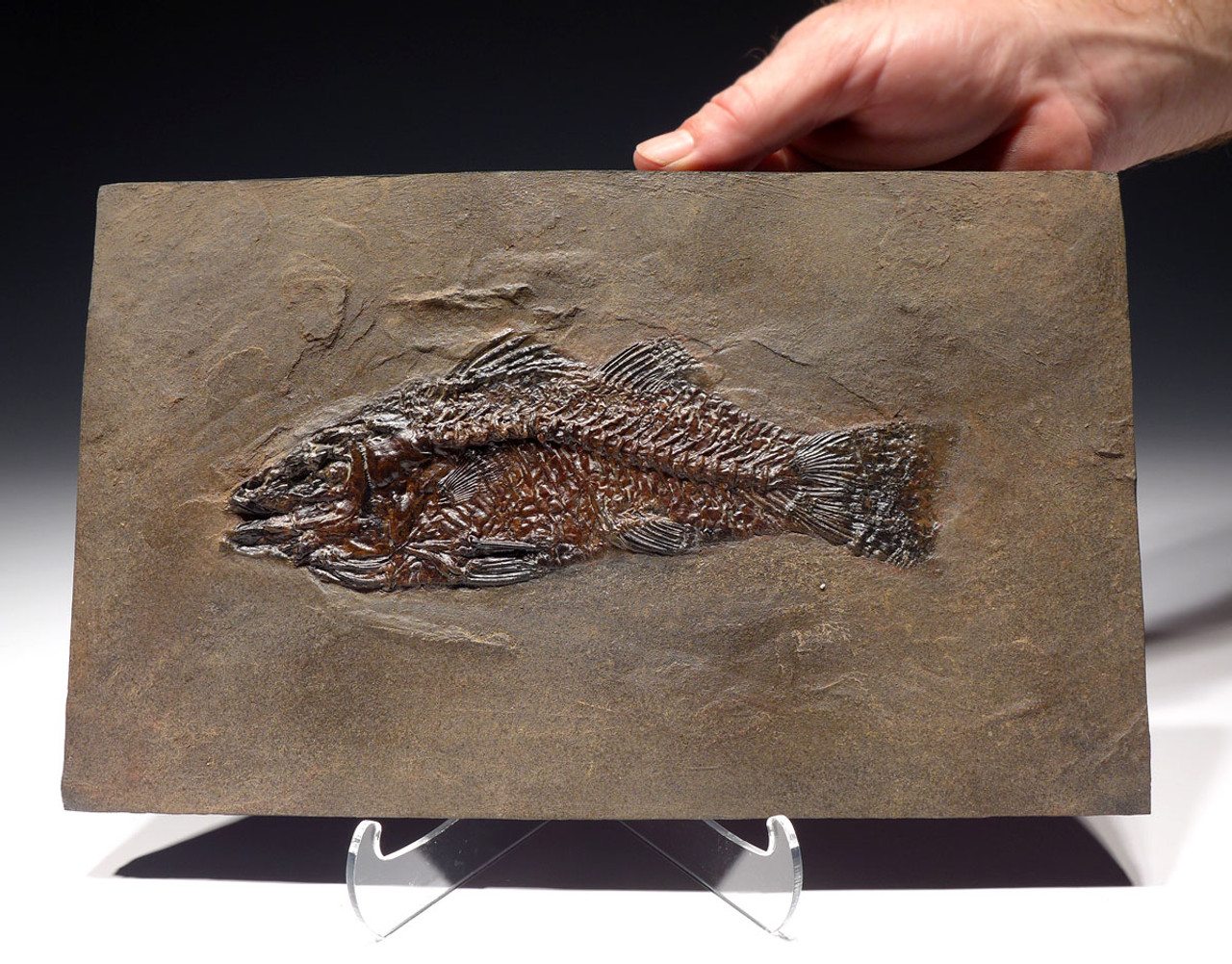 F124 - FINEST MUSEUM GRADE PALEOPERCA PERCH FOSSIL FISH FROM THE FAMOUS MESSEL SITE IN GERMANY