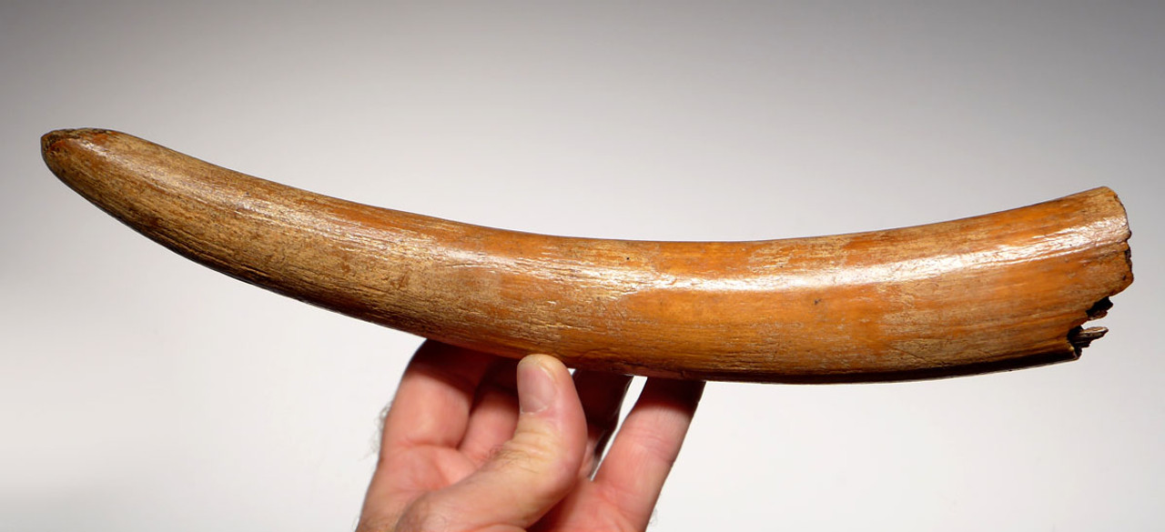 MTB001 - RAREST / FINEST COMPLETE TUSK FROM A BABY CALF WOOLLY MAMMOTH OF EUROPEAN ORIGIN
