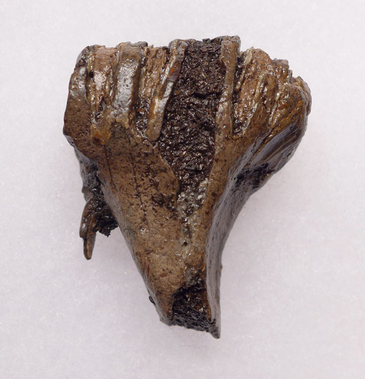 MTB004 - EXTREMELY RARE BABY CALF MERIDIONALIS SOUTHERN MAMMOTH TOOTH OF EUROPEAN ORIGIN