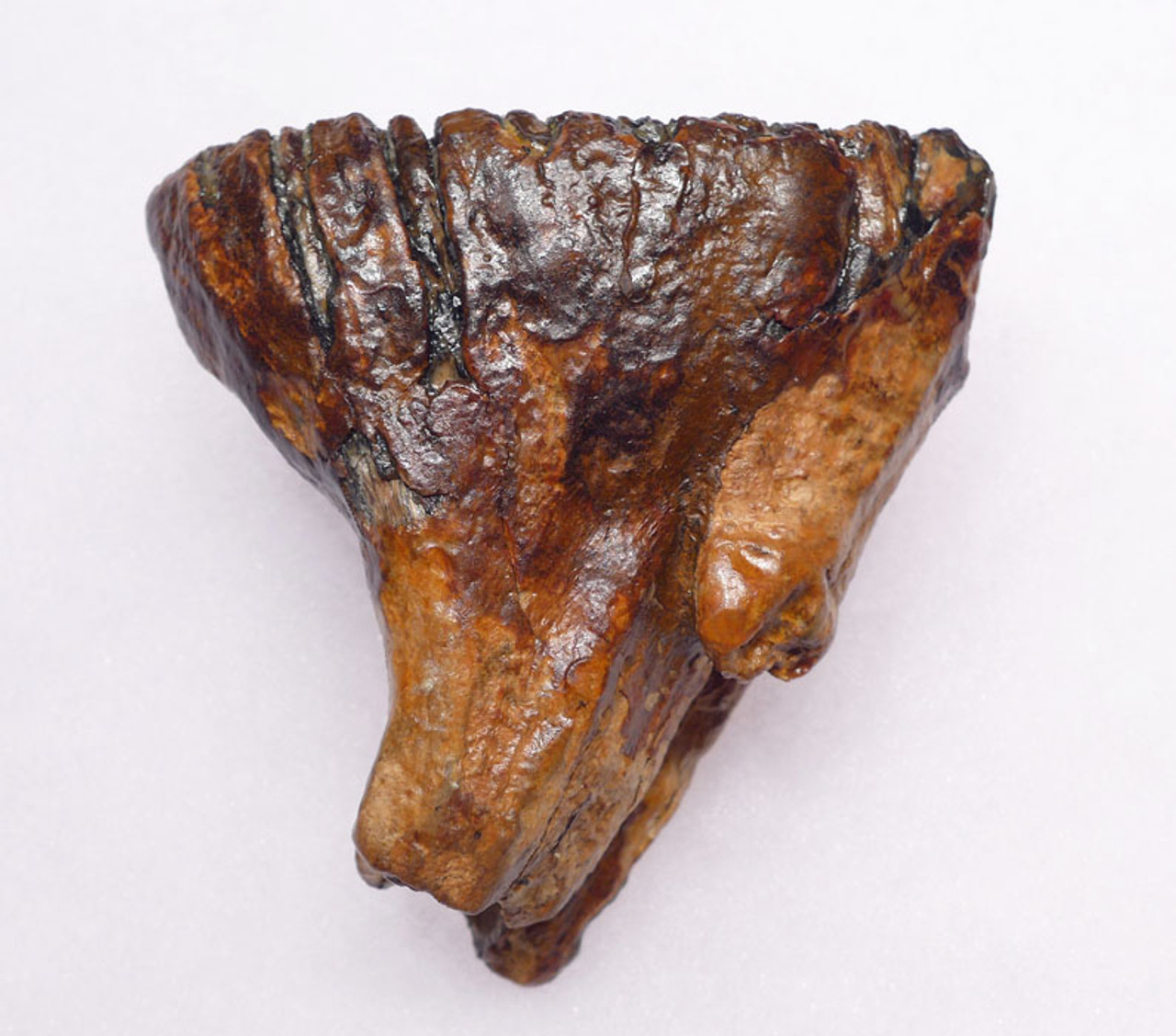 MTB011 - RARE BABY WOOLLY MAMMOTH TOOTH WITH ROOTS FROM EUROPE
