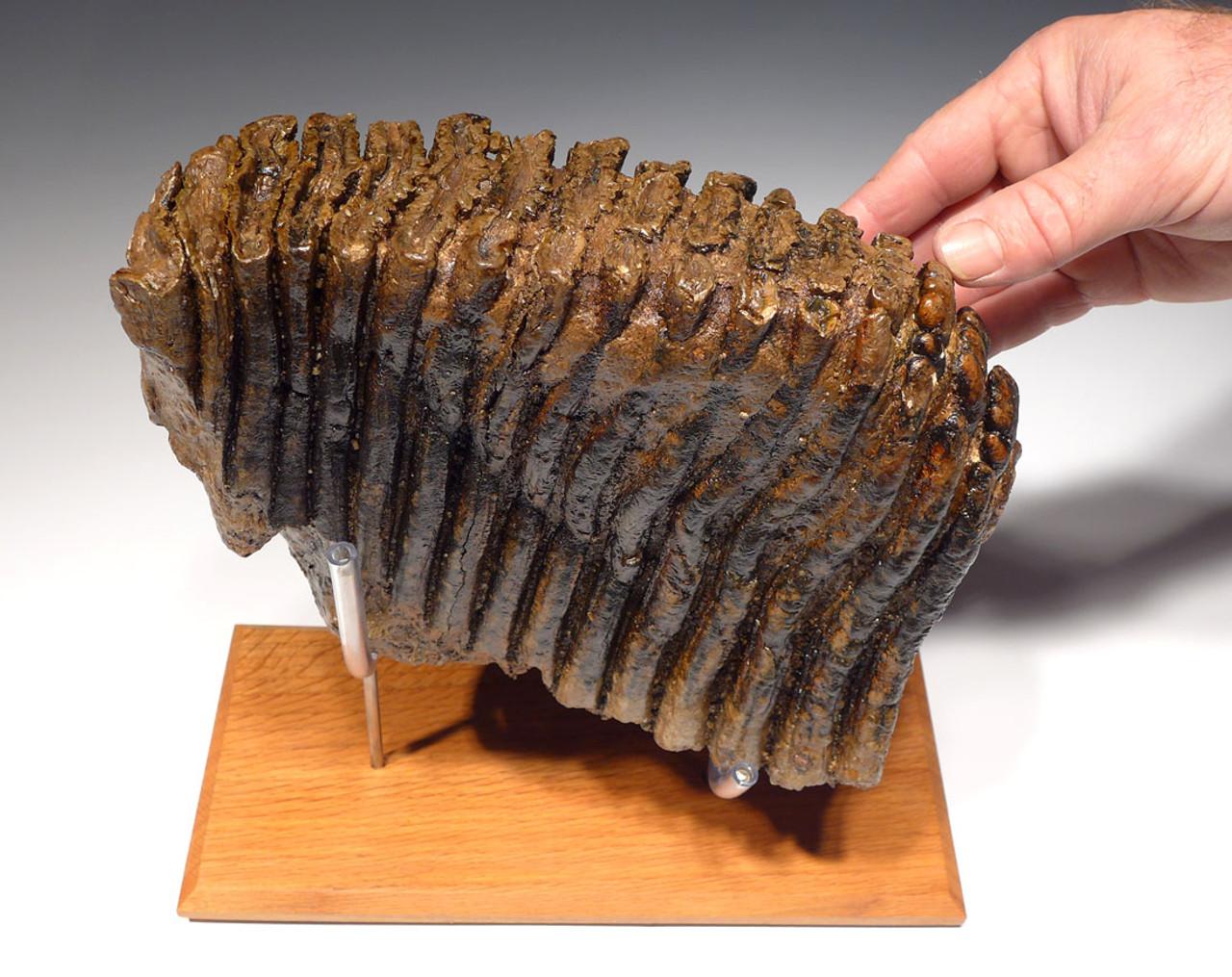 MRX001 - EXTREMELY RARE PALAEOLOXODON ANTIQUUS FOSSIL ELEPHANT TOOTH FROM GERMANY