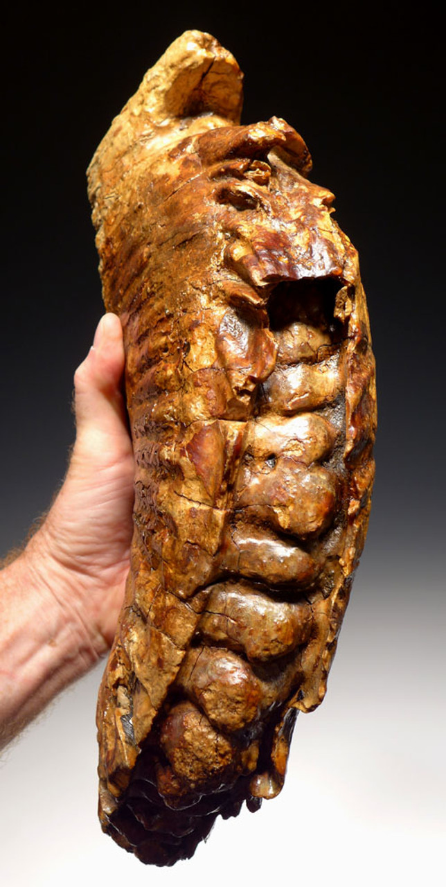 MRX002 - MASSIVE WOOLLY MAMMOTH LOWER TOOTH WITH ROOTS FROM EUROPE - BEST WE EVER HAD