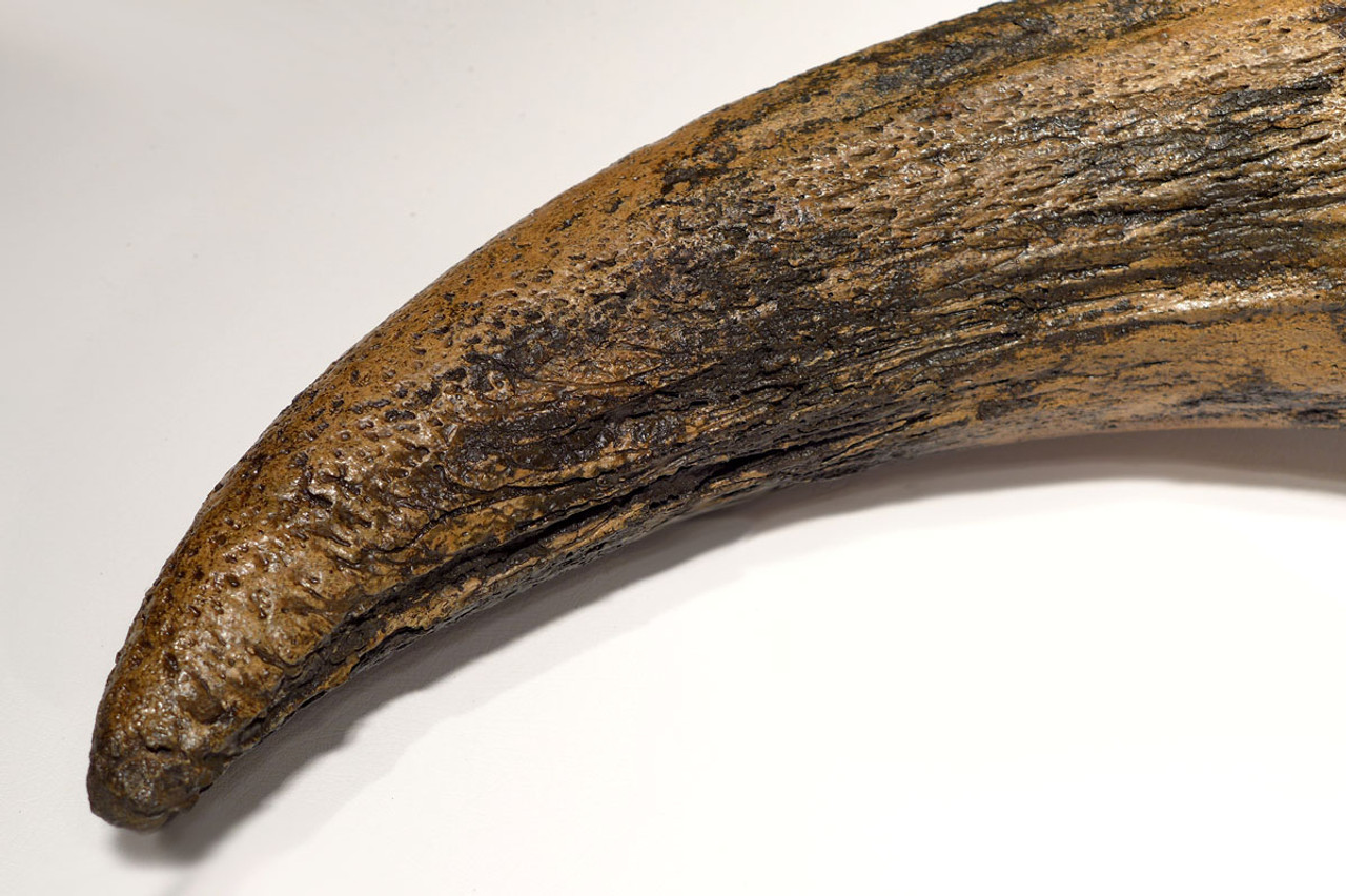 LMX097 - EUROPEAN ICE AGE STEPPE WISENT BISON SKULL WITH SUPERB COMPLETE HORN CORES