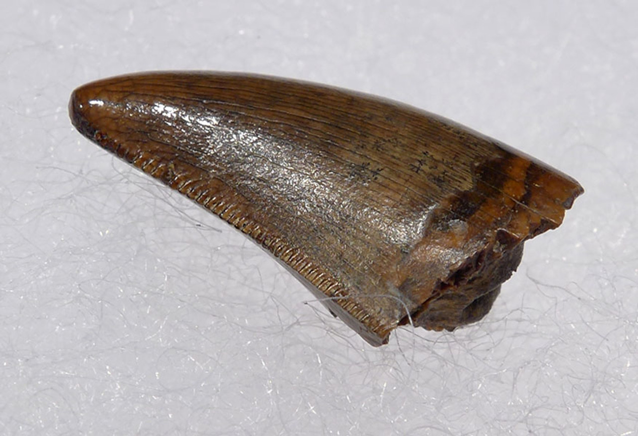 "DT6-202 - LARGE DROMAEOSAURUS ""RAPTOR"" DINOSAUR TOOTH FROM HELL CREEK"