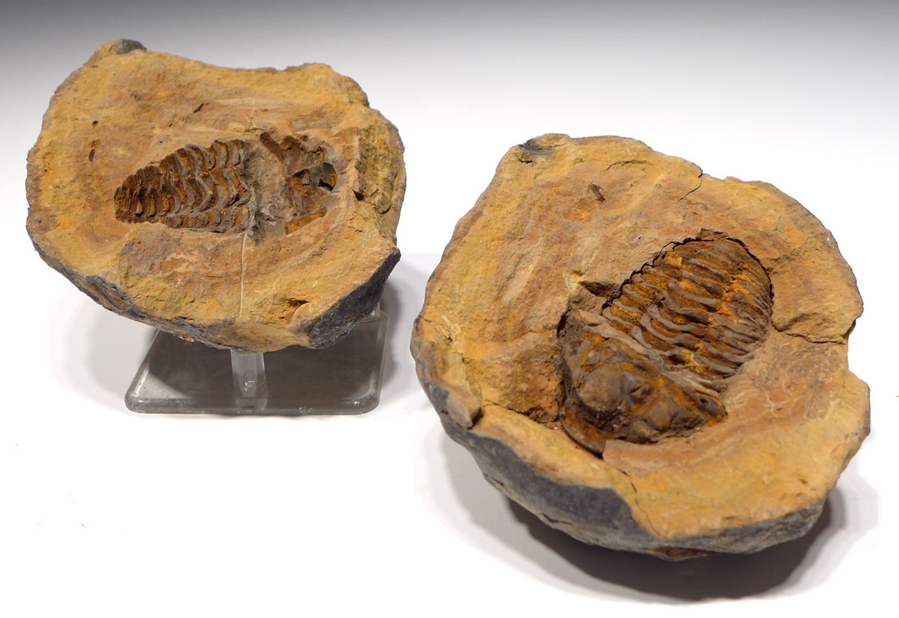 TRZX002 - LARGE TOP GRADE DIACALYMENE TRILOBITE IN CONCRETION FROM THE ORDOVICIAN