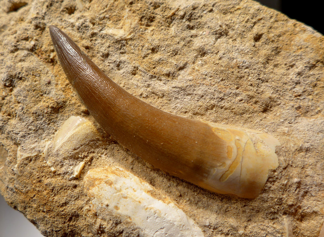 PLEX001 - NEARLY 3 INCH HUGE ELASMOSAUR MARINE REPTILE TOOTH IN MATRIX WITH SQUALICORAX SHARK TOOTH
