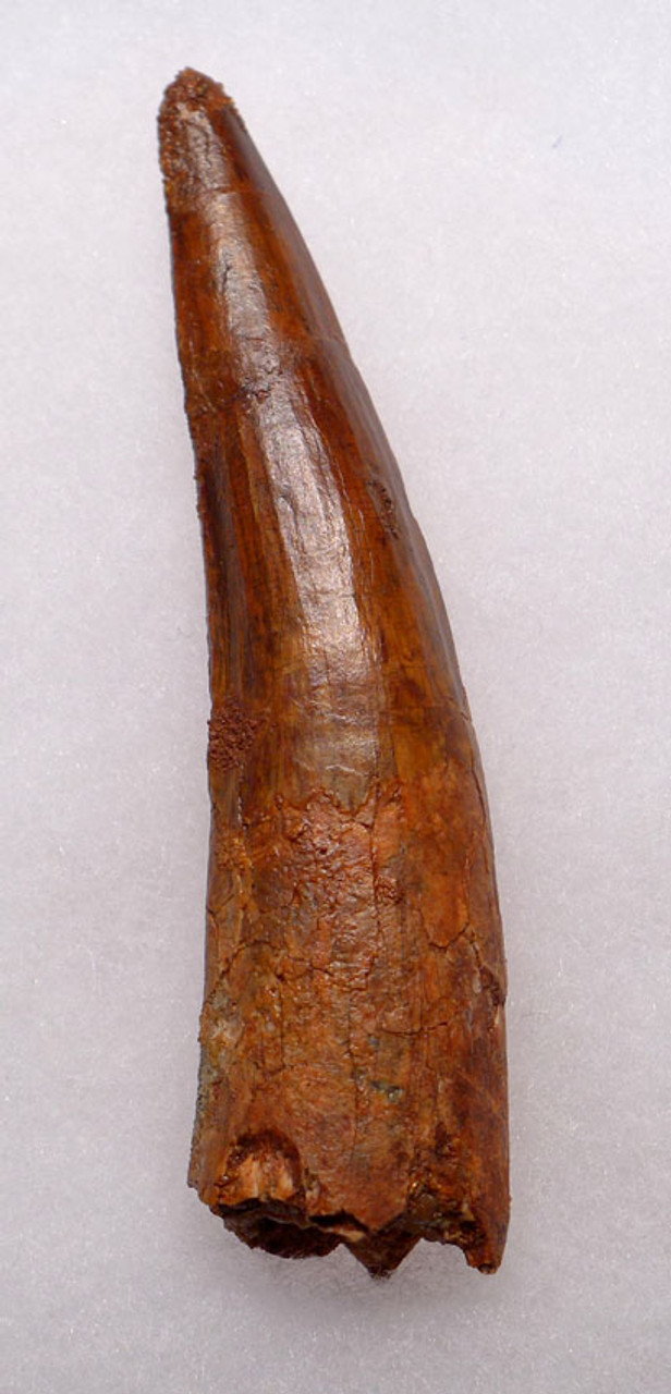 DT5-193 - EXTREMELY RARE CHOICE GRADE 4.1 INCH SPINOSAURUS DINOSAUR TOOTH WITH SHARP TIP