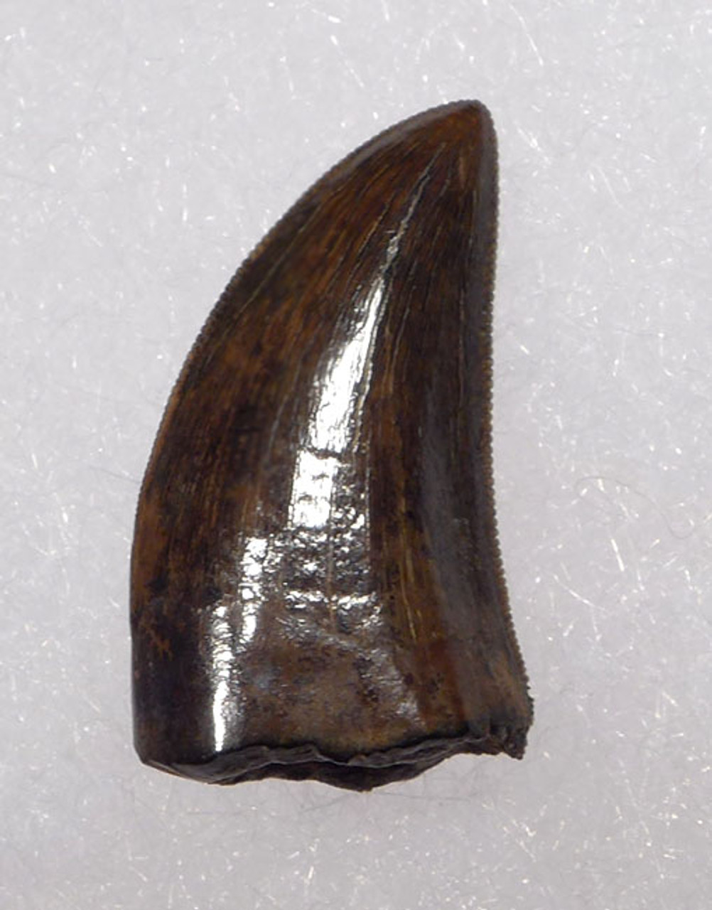 "DT6-203 - LARGE DROMAEOSAURUS ""RAPTOR"" DINOSAUR TOOTH FROM HELL CREEK"