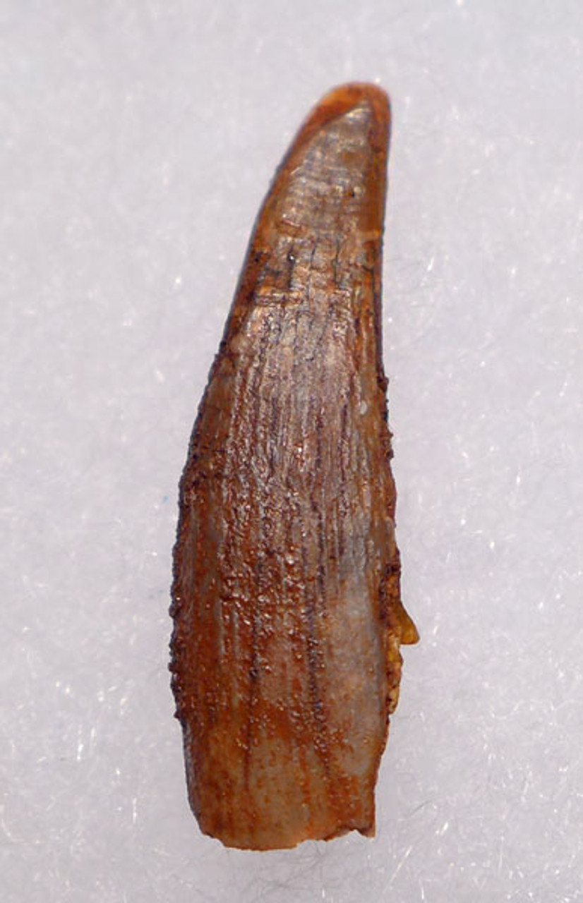 DT4-065 - CRETACEOUS PTERODACTYL PTEROSAUR TOOTH WITH SHARP TIP