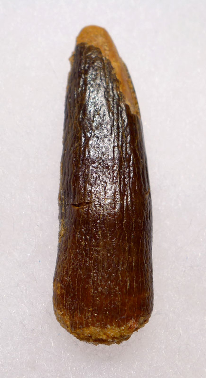DT9-024 - LARGE ROBUST DIPLODOCOID SAUROPOD DINOSAUR TOOTH