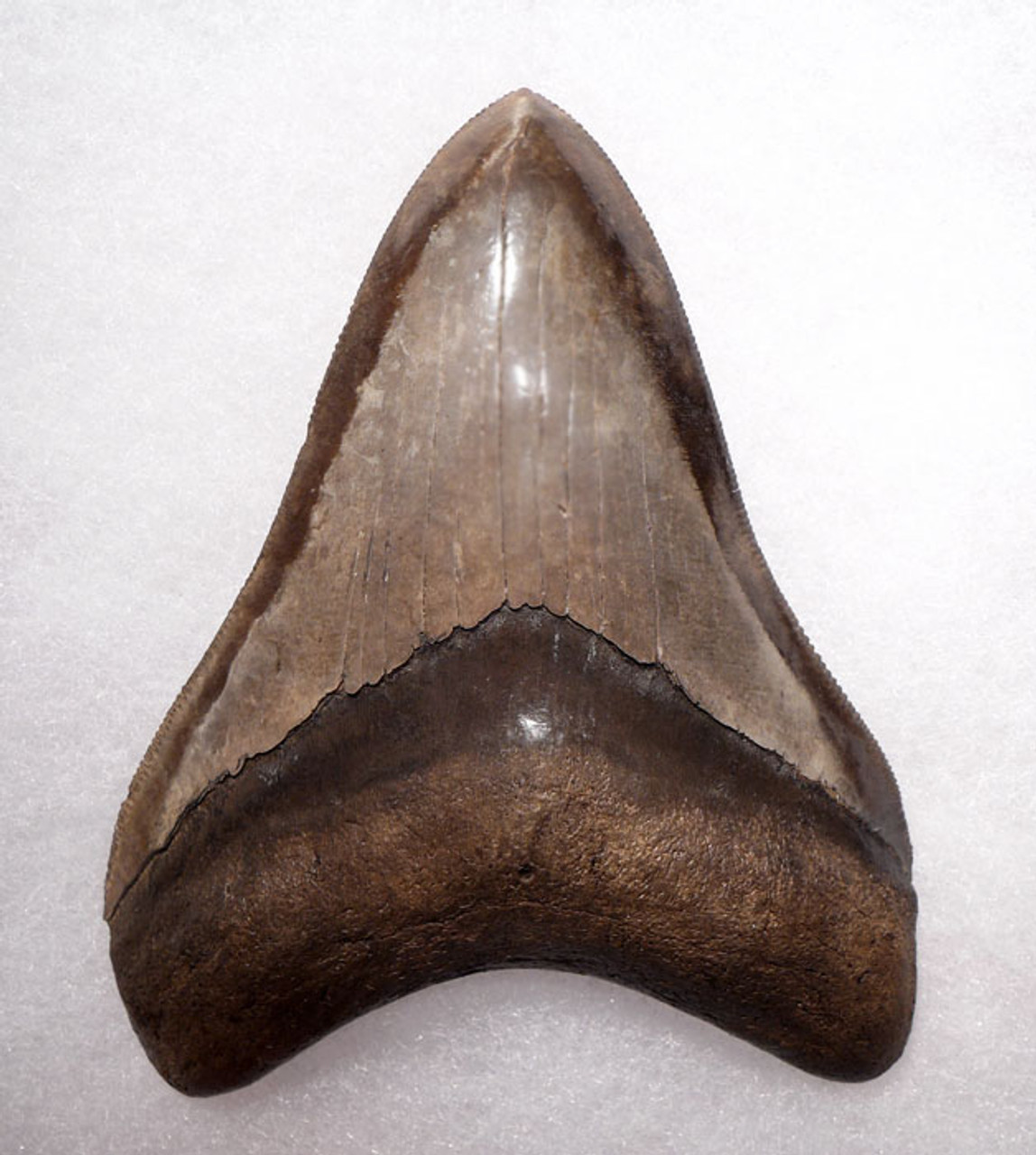 SH6-292 - COLLECTOR GRADE SPOTTED SILVER BRONZE 4.1 INCH MEGALODON SHARK TOOTH
