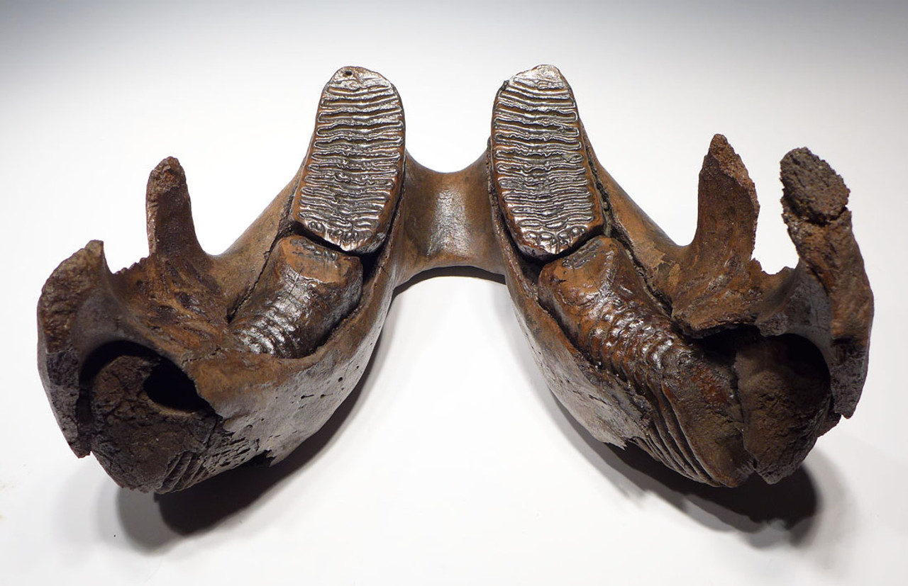 WMX001 - EXTREMELY RARE JUVENILE WOOLLY MAMMOTH MANDIBLE JAW WITH PERFECT MOLAR SET