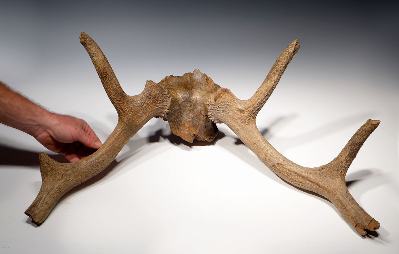 LMX002 - MUSEUM-CLASS ICE AGE RED DEER FOSSIL ANTLER RACK WITH PARTIAL SKULL FROM EUROPE