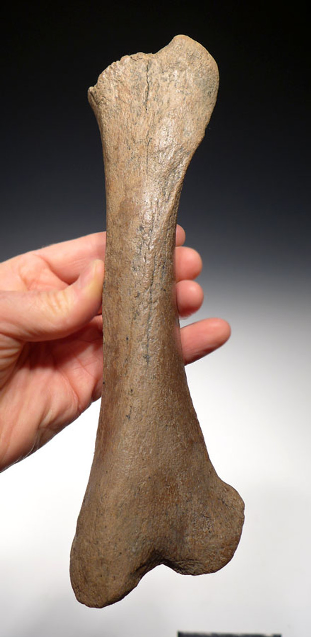 LMX105 - ULTRA RARE URSUS ARCTOS PREHISTORIC BROWN BEAR INTACT TIBIA  LOWER LEG BONE FROM EUROPE