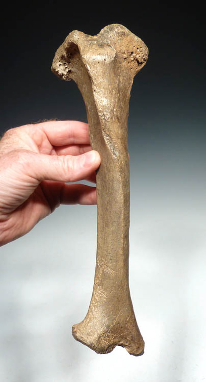LM40-150 - ULTRA RARE CAVE LION COMPLETE INTACT TIBIA  LOWER LEG BONE FROM EUROPE