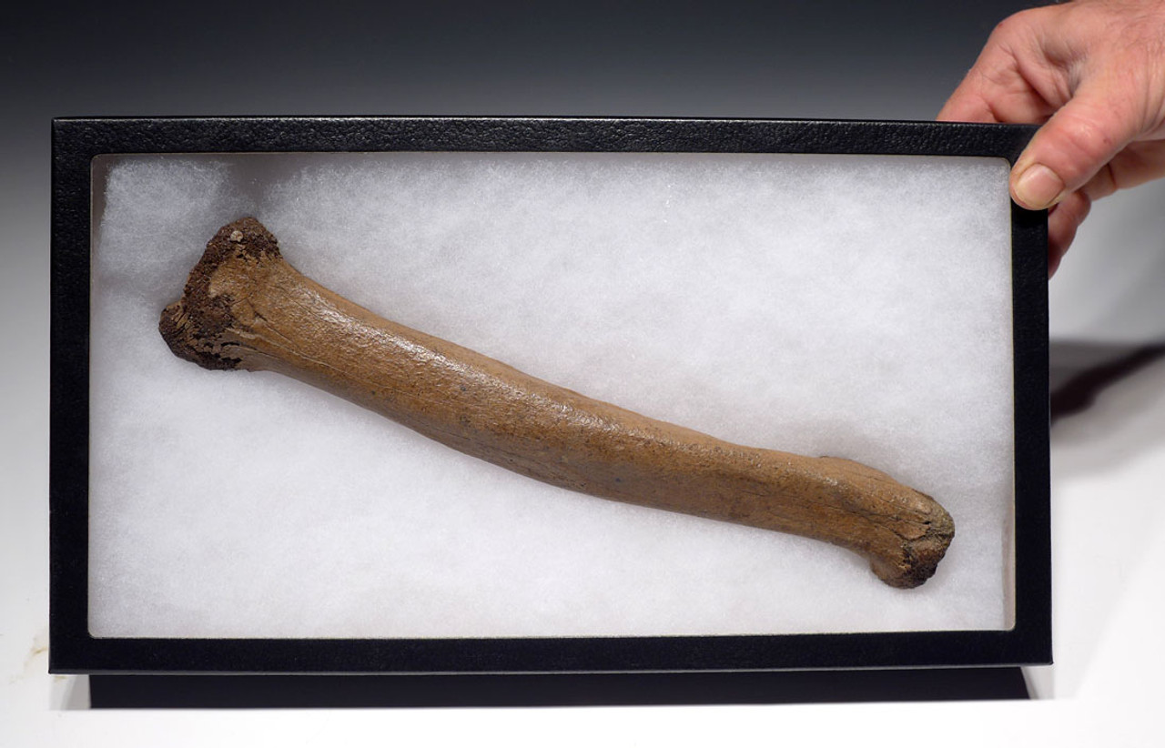 LMX102 - COMPLETE ULTRA RARE CAVE LION FOSSIL RADIUS ARM BONE FROM EUROPE