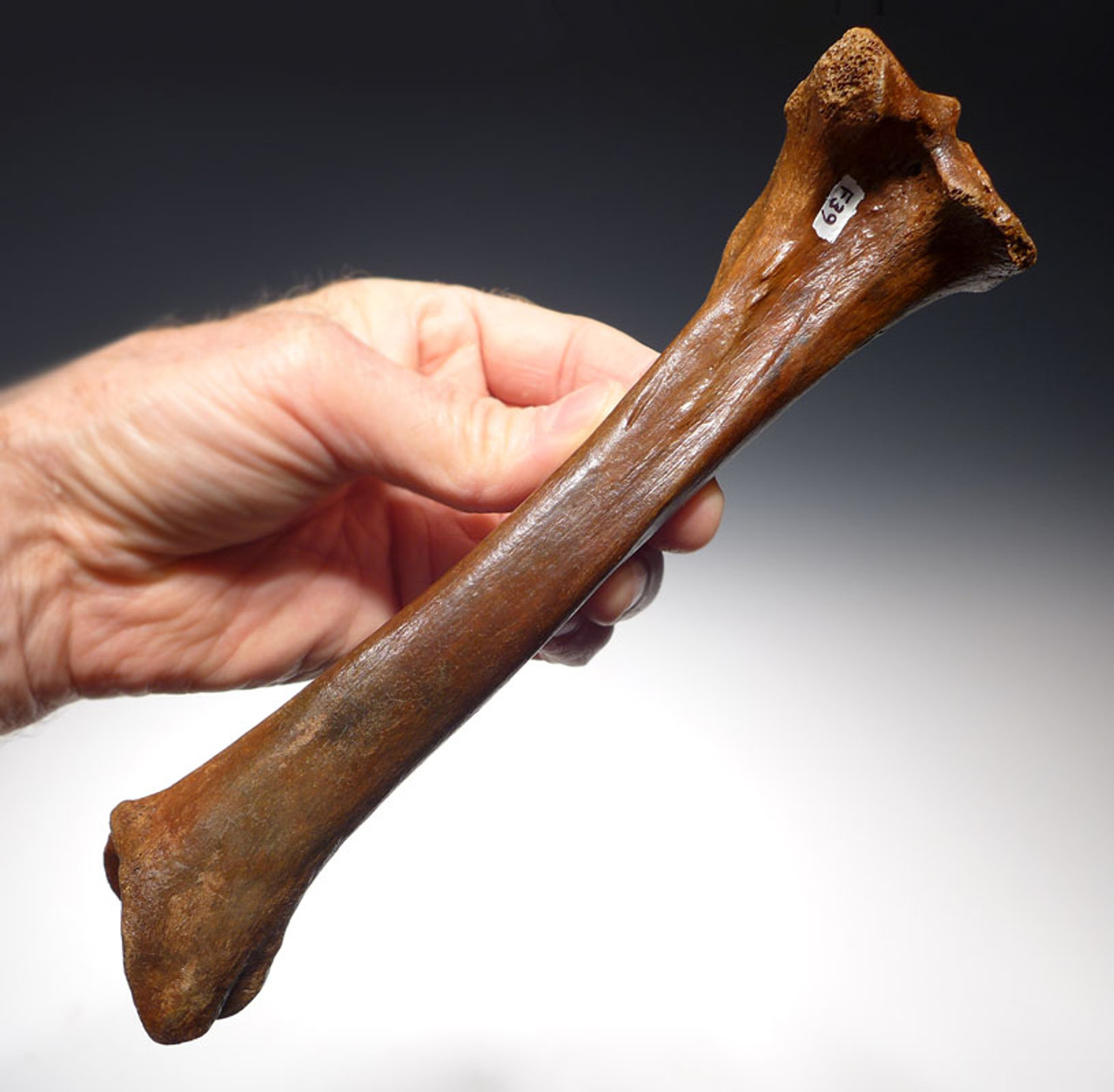LMX103 - RARE COMPLETE EUROPEAN CAVE HYENA  LEFT TIBIA LEG BONE WITH UNUSUALLY FINE PRESERVATION