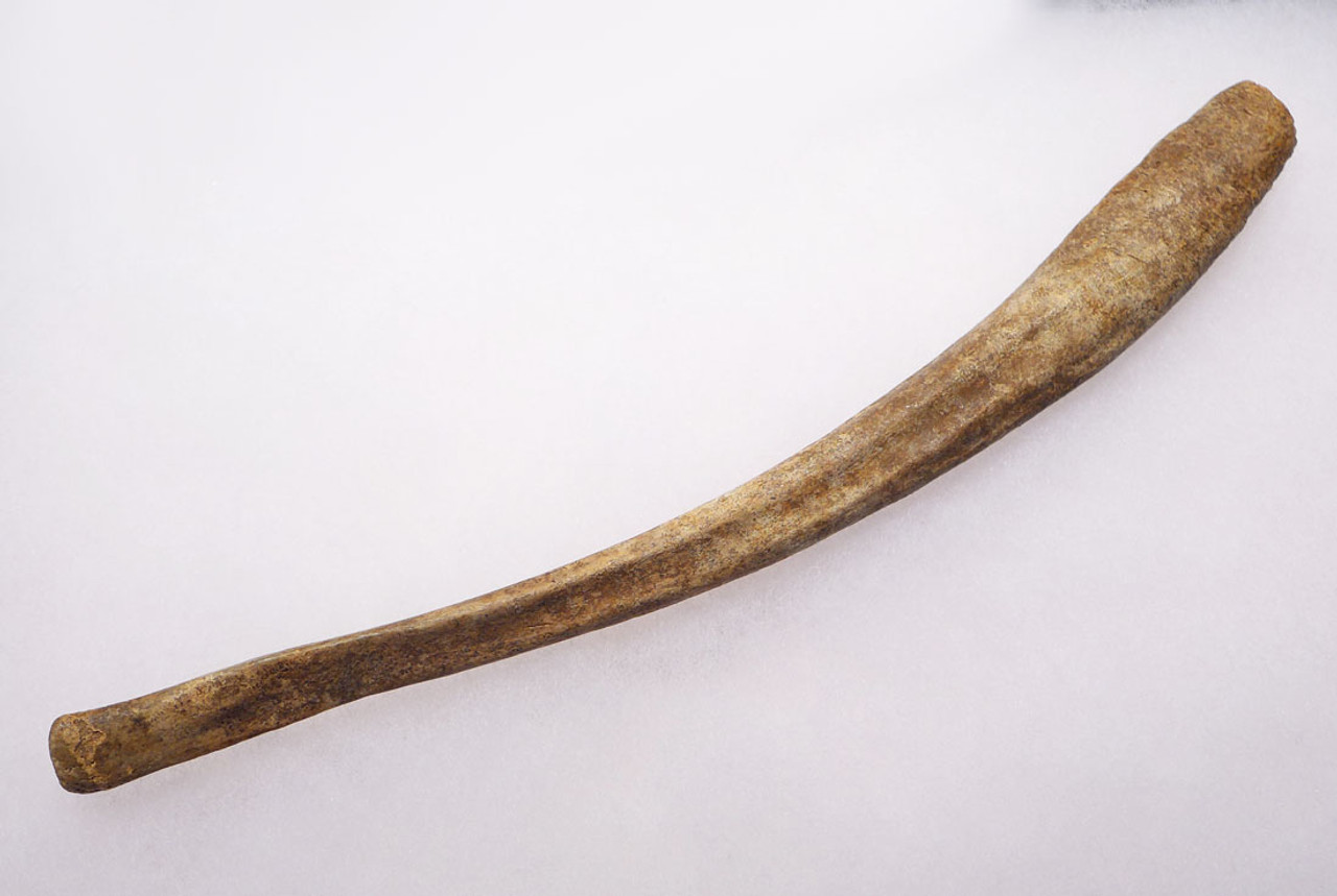 LMX100 - LARGE INTACT CAVE BEAR PENIS BONE FOSSIL BACULUM WITH PERFECT PRESERVATION