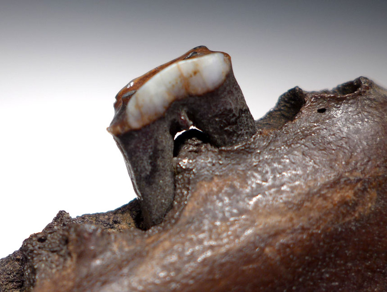 LMX099 - SUPER RARE EUROPEAN ICE AGE FOSSIL REINDEER MANDIBLE WITH HUMAN BUTCHERING CUTS
