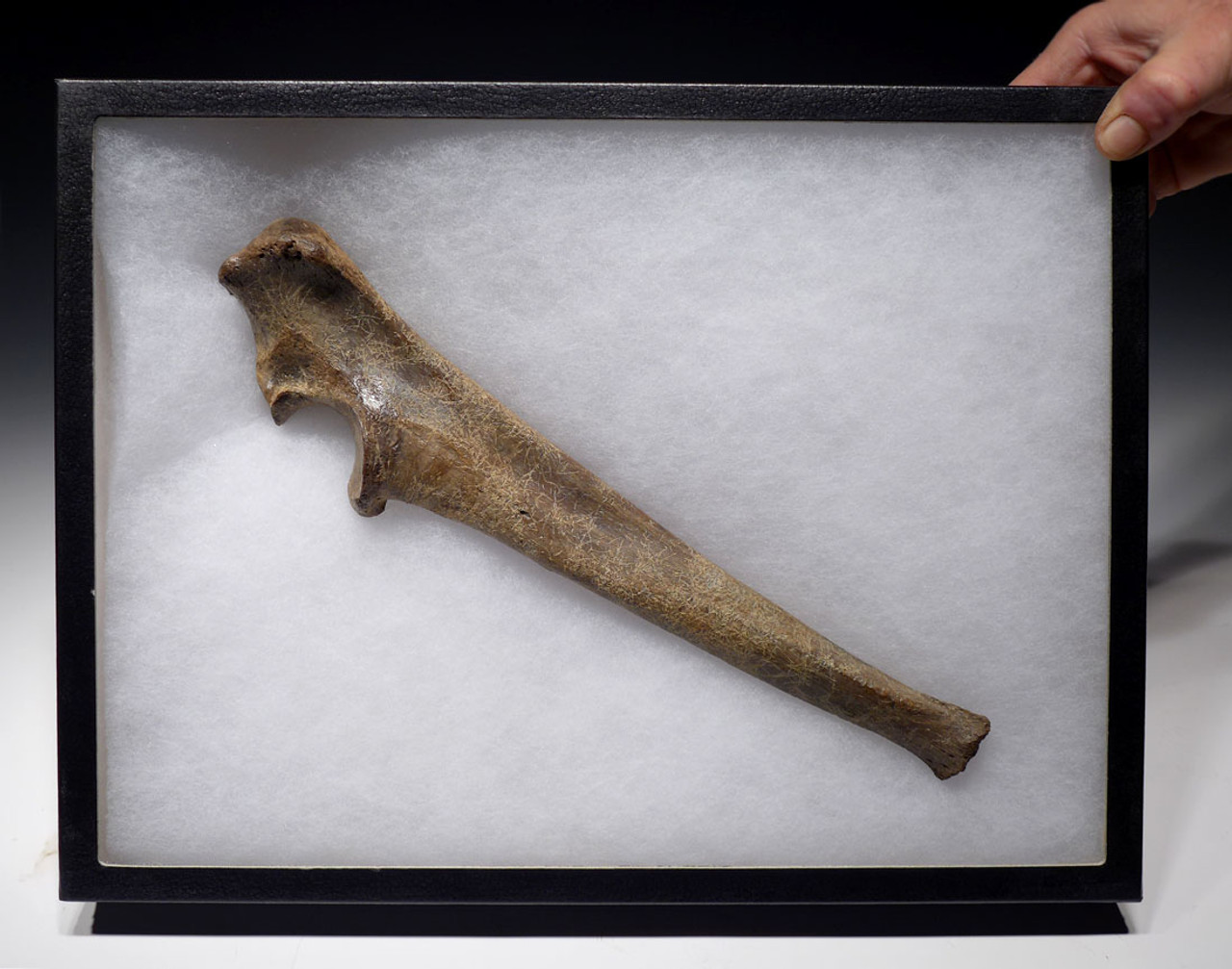 LMX106 - MUSEUM-CLASS CAVE LION COMPLETE INTACT ULNA ARM BONE FROM EUROPE