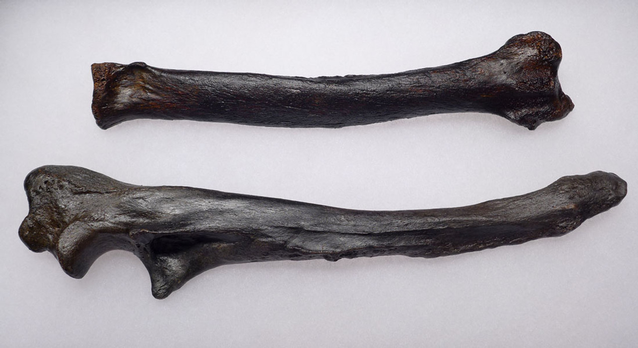 LMX101 - MUSEUM SET OF EUROPEAN CAVE HYENA  LEFT LOWER ARM BONES
