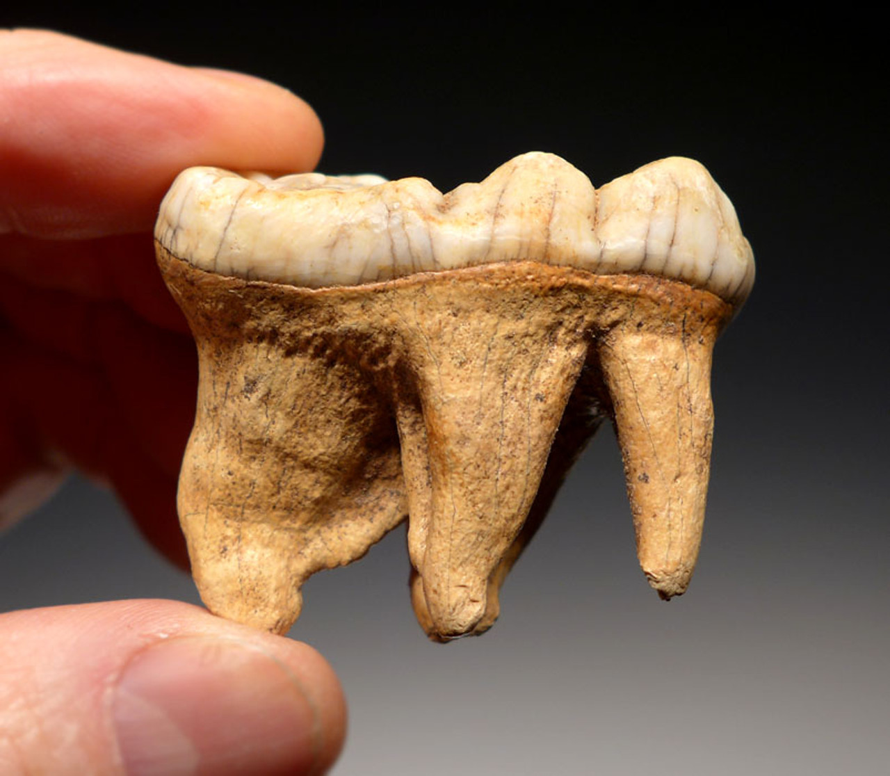 LM40-154 - FINEST LARGE EUROPEAN CAVE BEAR PRIMARY MOLAR WITH FULL ROOT