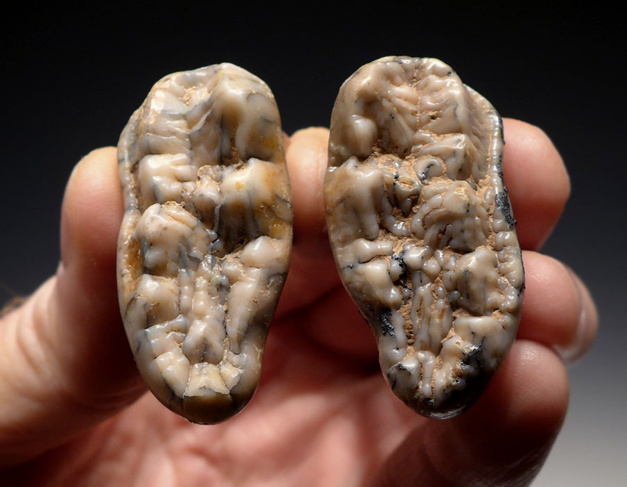 LM40-153 - PAIR OF SUPREME CAVE BEAR (URSUS SPELAEUS) PRIMARY MOLAR FOSSIL TEETH FROM THE FAMOUS DRAGONS CAVE IN AUSTRIA