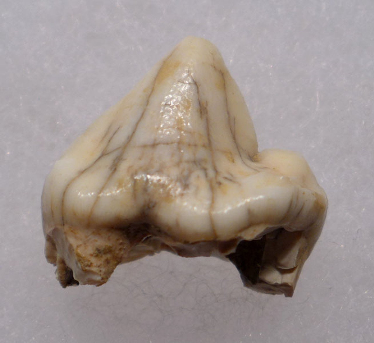 LMX108 - EUROPEAN CAVE HYENA  FOSSIL TOOTH