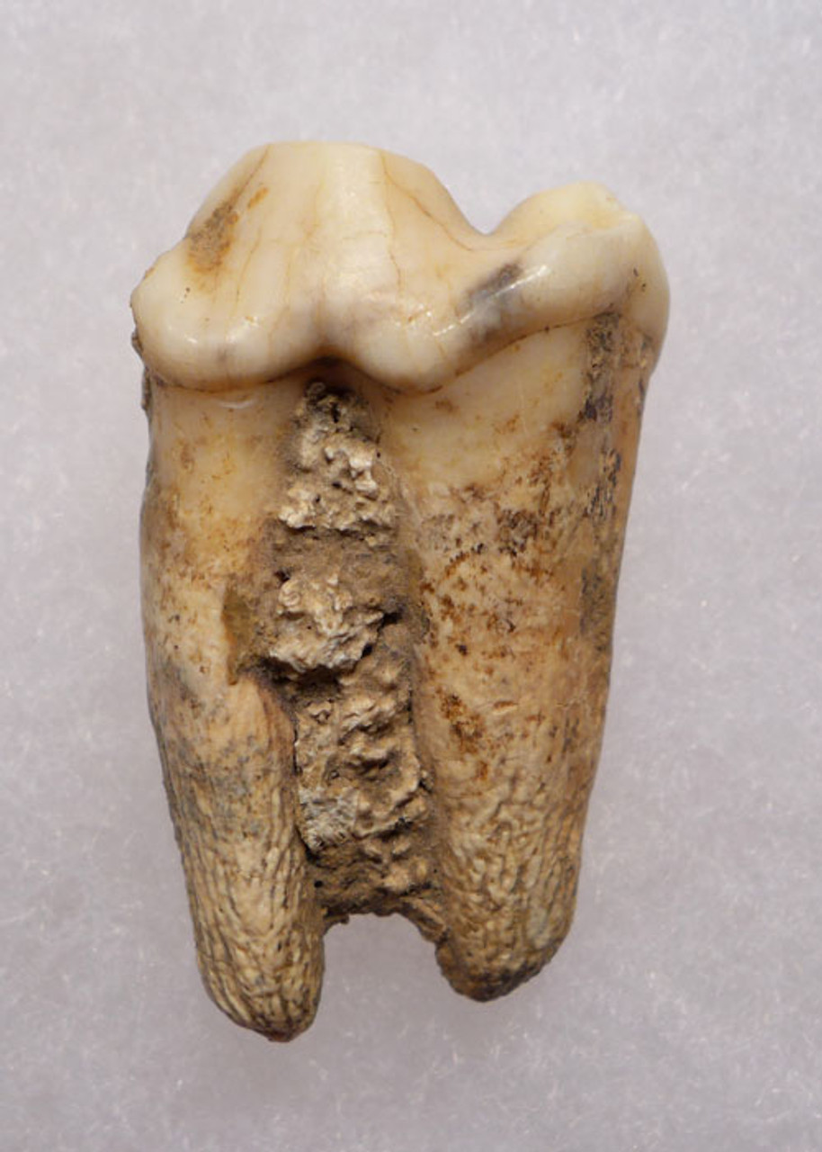 LMX107 - EUROPEAN CAVE HYENA  FOSSIL TOOTH WITH ROOT