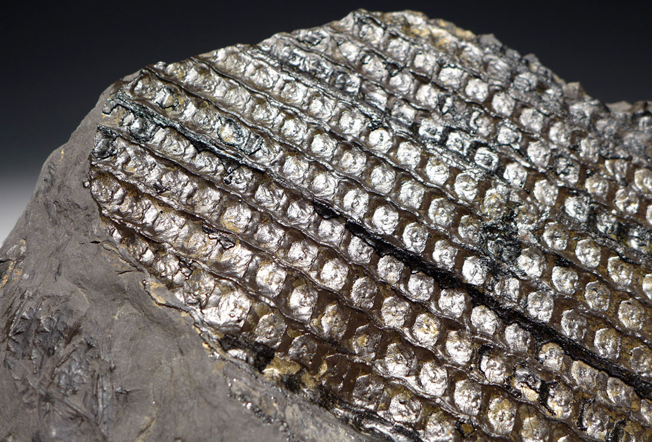 PL095 - THREE DIMENSIONAL LARGE CARBONIFEROUS SIGILLARIA ELEGANS FOSSIL TRUNK SECTION WITH BEAUTIFUL GOLDEN PYRITE ACCENTS